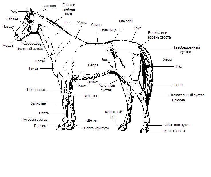 Тело лошади: строение, части
